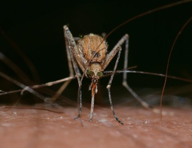 Țânțarii transmit febra Dengue