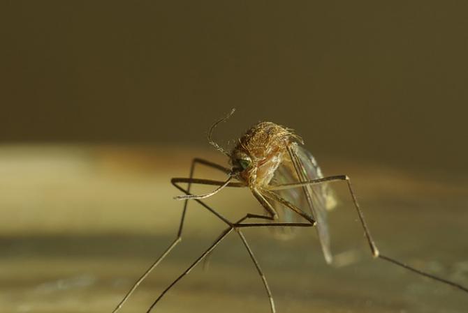 Țânțar