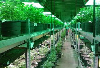 Legalziarea marijuanei a dus la scăderea deceselor cauzate de opoide