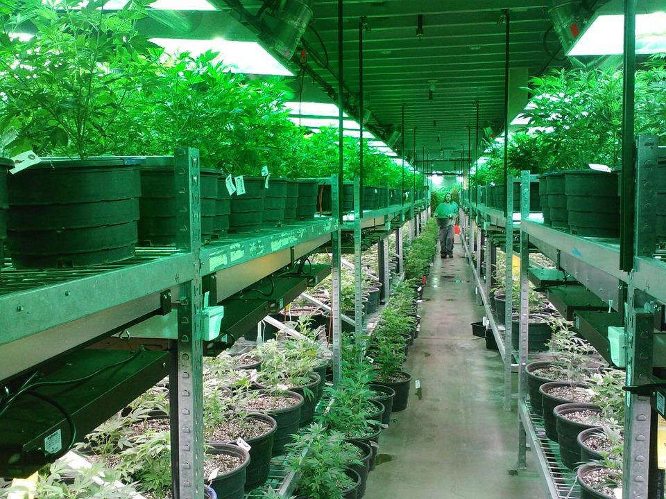 Canabisul în scop medicinal ar putea fi legalizat