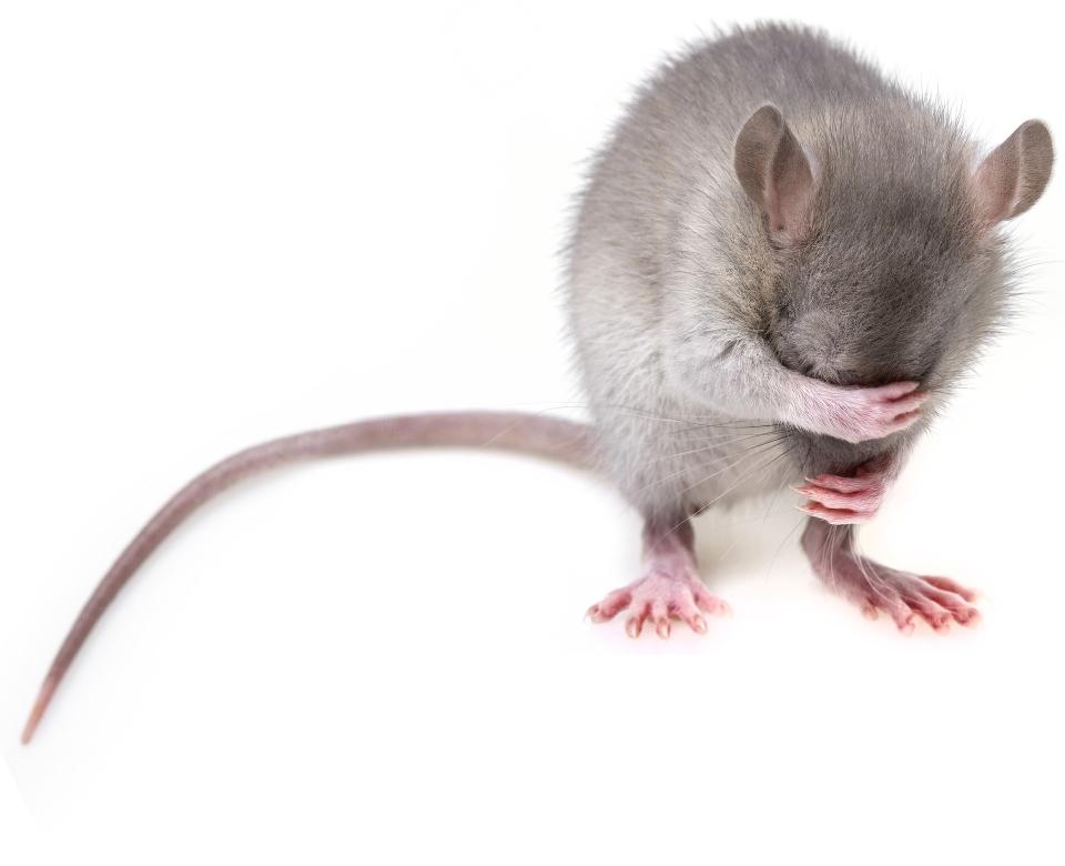 Leptospiroza se poate face în urma contactului cu dejecțiile de șobolani