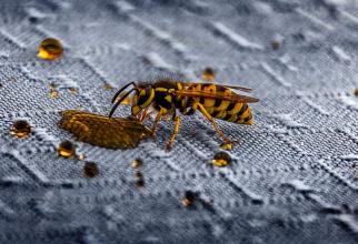 Veninul periculos de viespe a fost convertit într-un antibiotic eficient