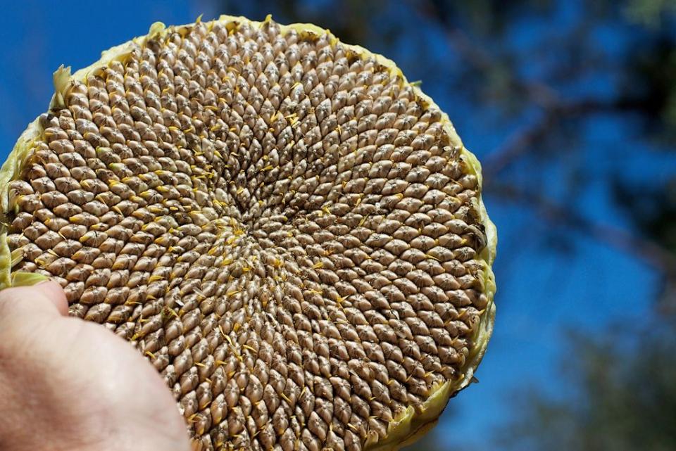 Semințele de floarea-soarelui sunt o bună sursă de vitamina E