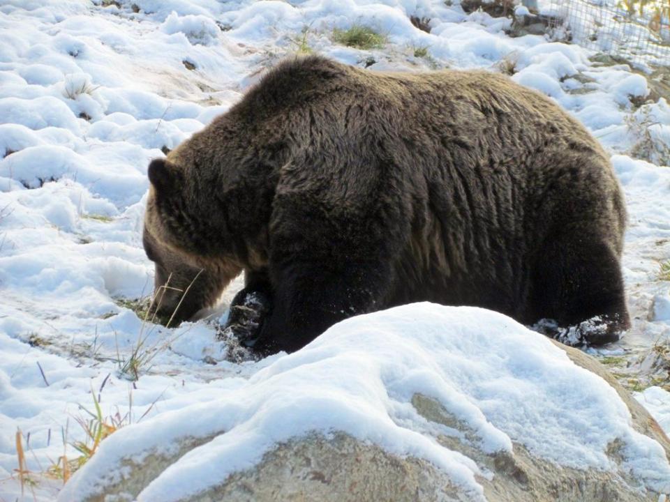 Desi acum ar trebui sa hiberbeze, un urs a atacat un barbat cu trei zile in urma, in Harghita