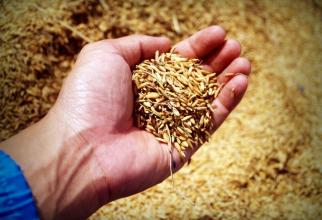 Grâul este o sursă de gluten, iar consumul de grâu sau subproduse din grâu este interzis pacienților cu boală celiacă diagnosticată