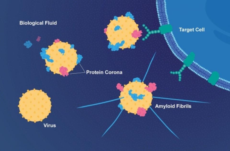 Virușii se protejează cu proteine de la gazdă și devin mai virulente    Foto: E. Wikander/Azote/Stockholm University.