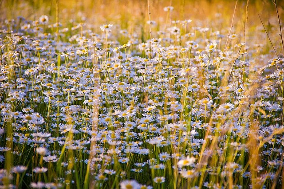 Plante asemănătoare cu margaretele la flori  FOTO: Pixabay