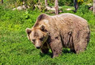 Un urs a atacat un bărbat care păzea o cireadă de vaci
