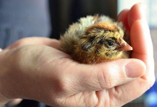 În România a fost confirmat un focar de gripă aviară la o fermă din Maramureș