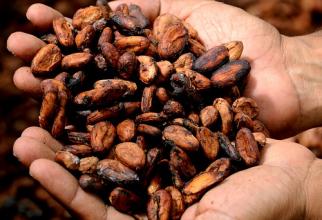 Boabe de cacao  FOTO: pixabay