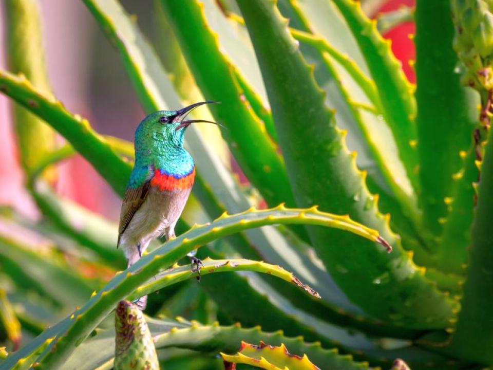 Aloe vera, planta, are câteva beneficii dovedite științific