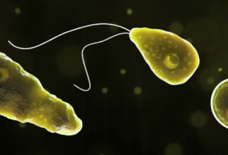 Amiba Naegleria fowleri. Foto: CDC
