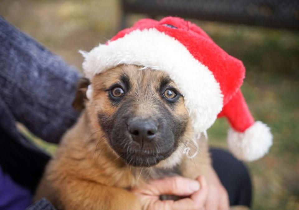 Câine cu căciuliță de Crăciun. Foto: Duffy Brook / Unsplash