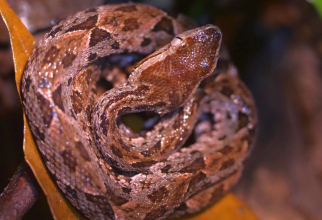 Bothrops jararaca. Foto: unsplash/Hugo Brightling