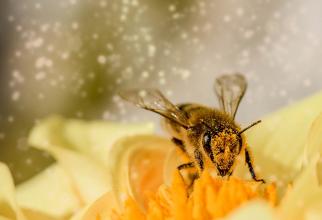 Polenul de albine poate avea beneficii și riscuri