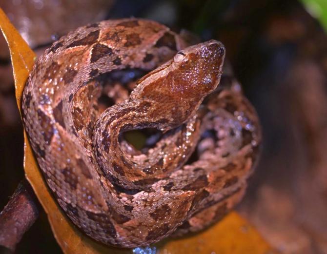 Bothrops jararaca. Foto: unsplash/Hugo Brightling