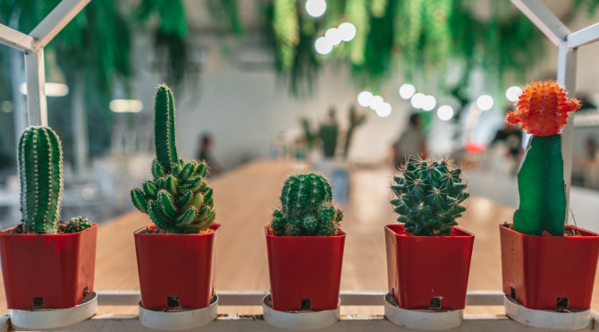 pierderea în greutate cactus