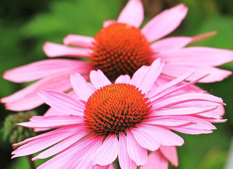 Echinacea. Foto: Pixabay
