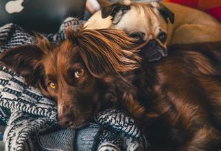 Ai aceste rase de câini? Este INCREDIBIL ce pot afla! Îți pot spune că ai COVID-19, precizie de 94%, FOTO pexels