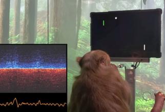 Maimuța are implantate în creier două cip-uri create de Neuralink, compania lui  Elon Musk. Foto: Neuralink