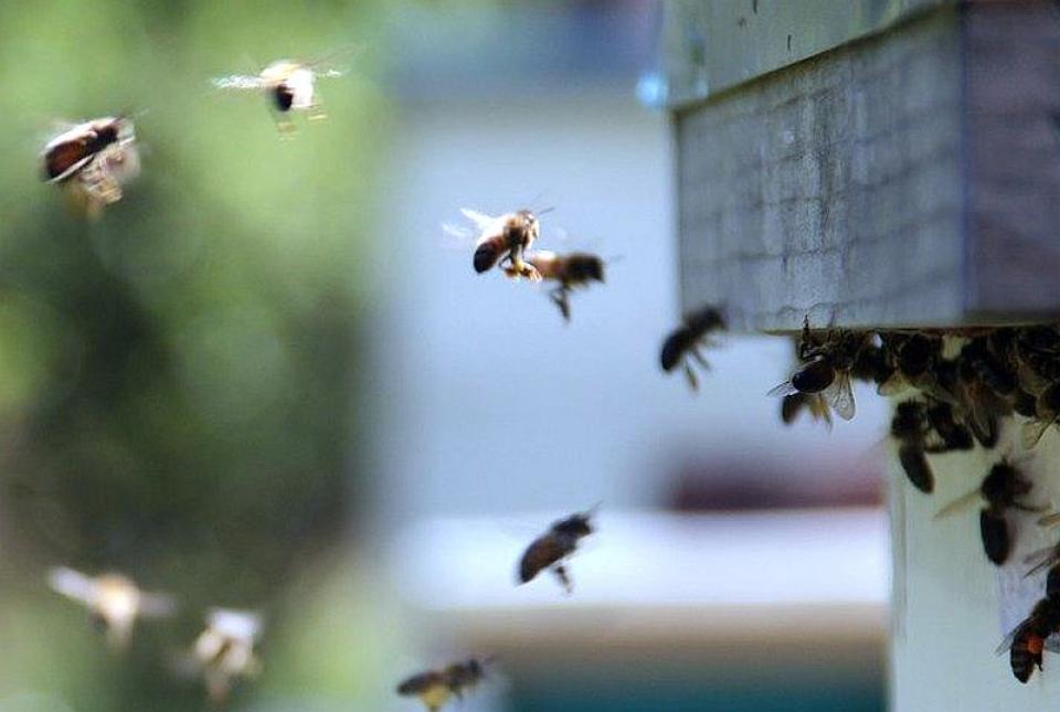 Înțepătura de albină poate fi fatală pentru cei alergici la veninul lor. Foto: Pixabay
