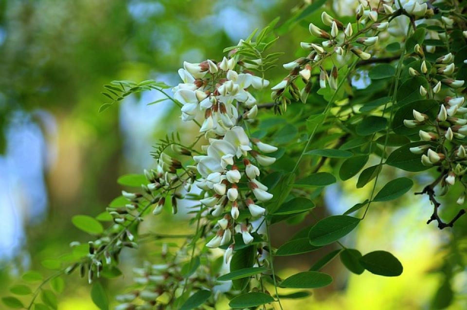 Flori de salcâm  FOTO: pixabay
