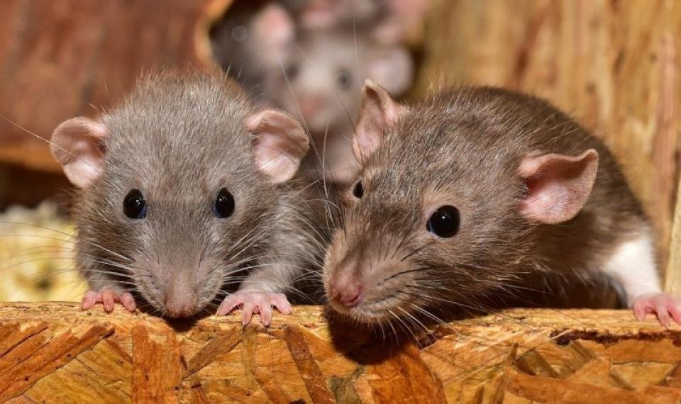 Sunt mai multe boli extrem de periculoase care pot fi transmise de șobolani. Foto. Pixabay