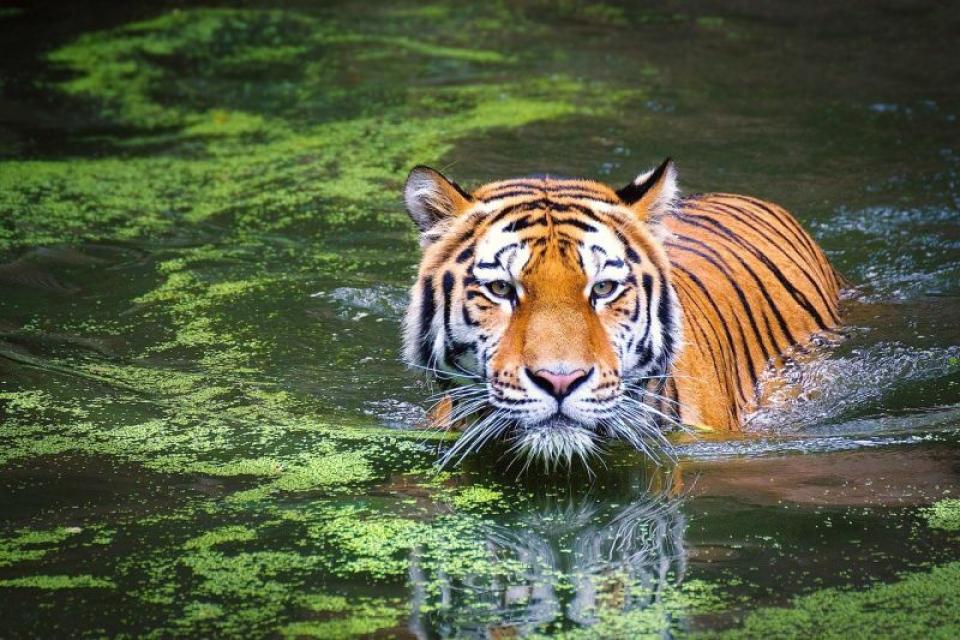 Tigru. Foto: Pixabay