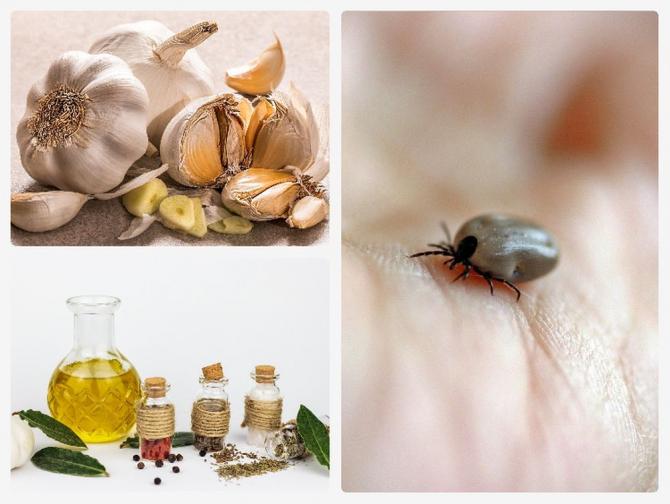 Uleiurile esențiale din anumite plante pot distruge bacteriile care provoacă boala Lyme. Foto colaj: Pixabay