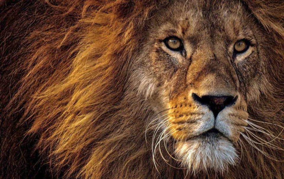Leul se înțelege perfect cu 4 zodii. Foto: Pixabay