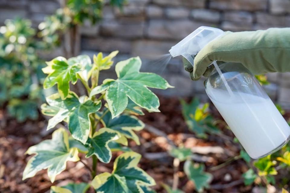Laptele poate fi folosit și la grădinărit   Foto: thespruce.com